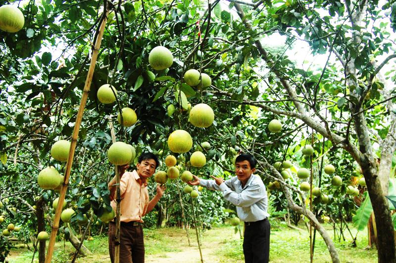 Hà Tĩnh: Bưởi Phúc Trạch được mùa, rớt giá